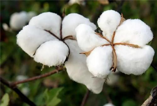 棉花可以吃吗